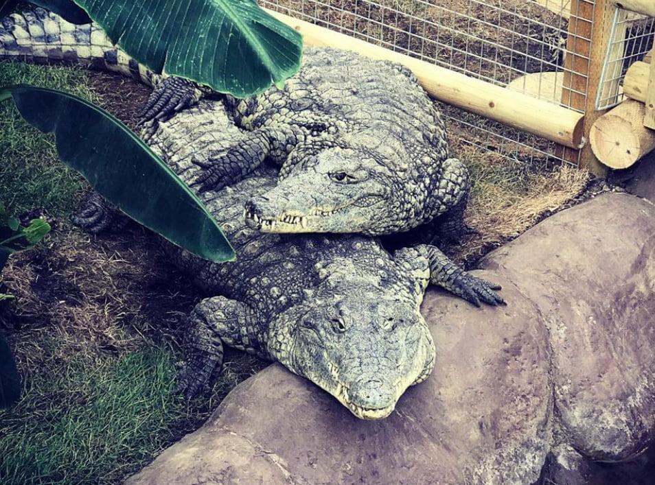 Piggyback crocodiles