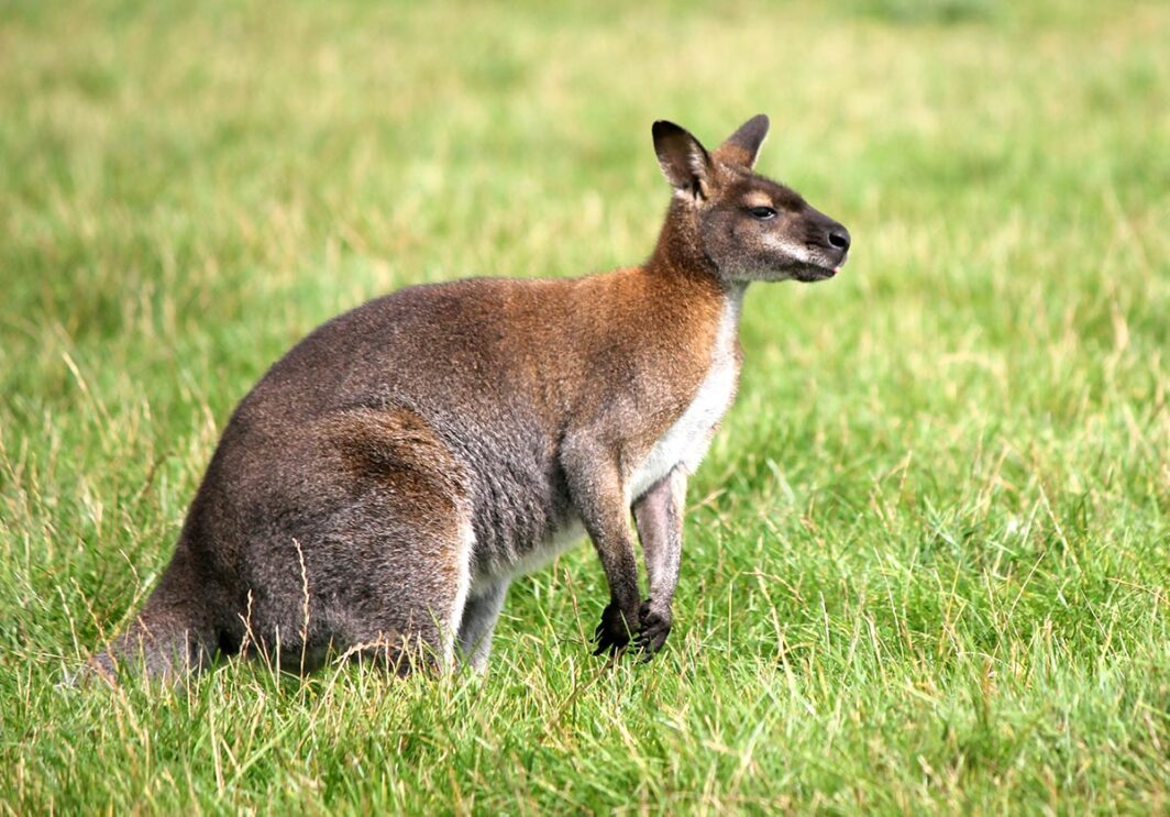 Bennett Wallaby
